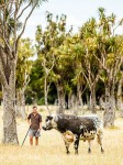 Charlie Matthews with a Speckle Park bull, a breed Waiorongomai helped bring to NZ. Amongst cabbage trees, a feature of Waiorongomai, Waiorongomai, South Wairarapa (54230QF00)