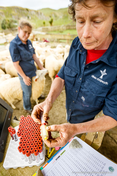 Kate Broadbent and Emily Welch testing breeding stock for facial eczema spore tolerance. Story portrait by Rob Suisted