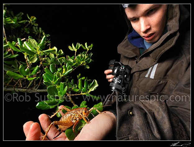 Cook Strait Giant Weta female climbing onto Bryce's hand (Deinacrida rugosa, Stenopelmatidae). Endemic endangered New Zealand insect. Wetapunga. Island gigantism
