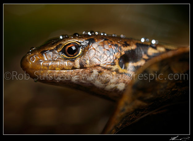 McGregor's skink with raindrops on head (Oligosoma macgregori, Scincidae). Previously known as: Macgregor's skink, Cyclodina macgregori. Very rare NZ endemic endangered species