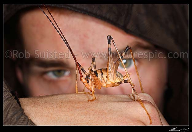 Large Cave Weta and SpidermanBryce (Gymnoplectron species, Rhaphidophoridae)