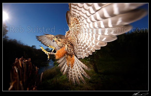 New Zealand Falcon. Photo: Rob Suisted of Natures Pic Images Blog