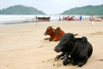 Goa cows, what a life