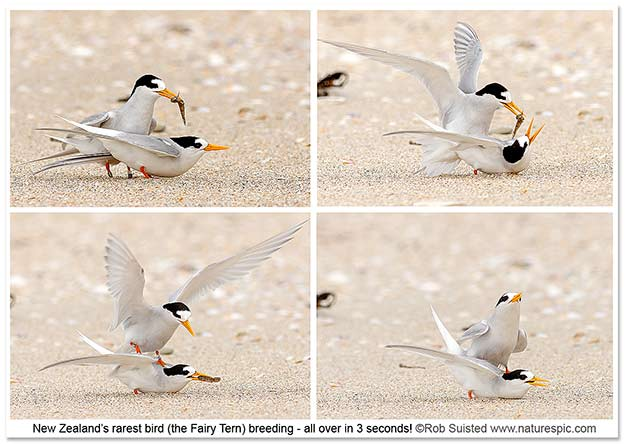 Fairy Terns mating at Waipu beach ©Rob Suisted / www.naturespic.com