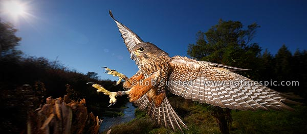 New Zealand falcon photograph