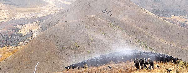 Click for full panorama - Cattle on Driving Spur, Lake McRae