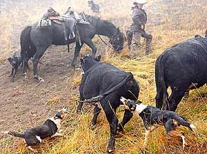 Dogs & stockmen herding cattle up the steep climb