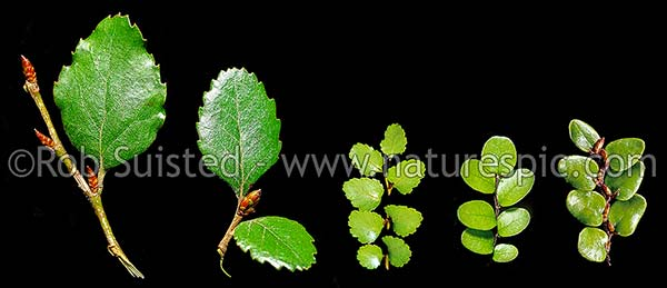 New Zealand Beech Tree leaf comparison, by Rob Suisted