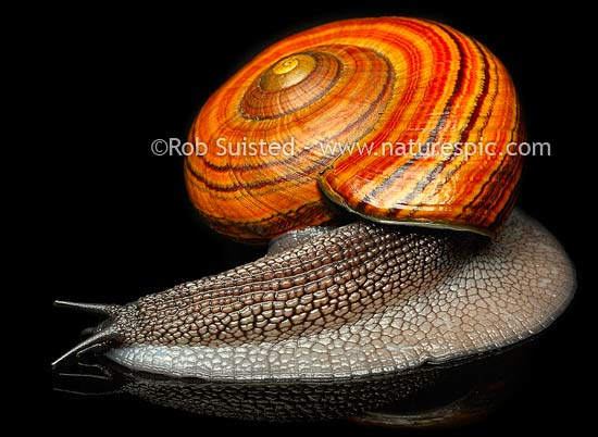 New Zealand Hochstetter's giant landsnail (Powelliphanta hochstetteri). Threatened NZ native terrestrial mollusc