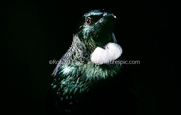 Tui Black ©Rob Suisted - www.naturespic.com